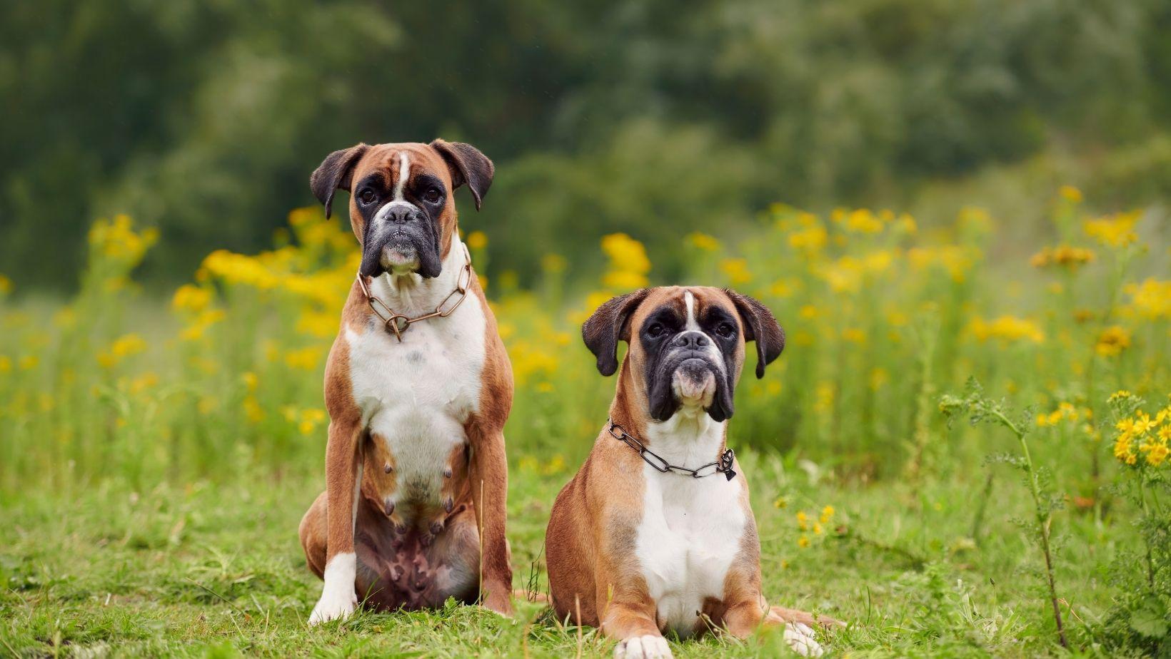 boxer dog characteristics
