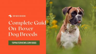 boxer dog information