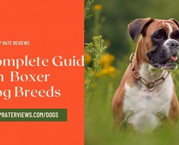 boxer dog information