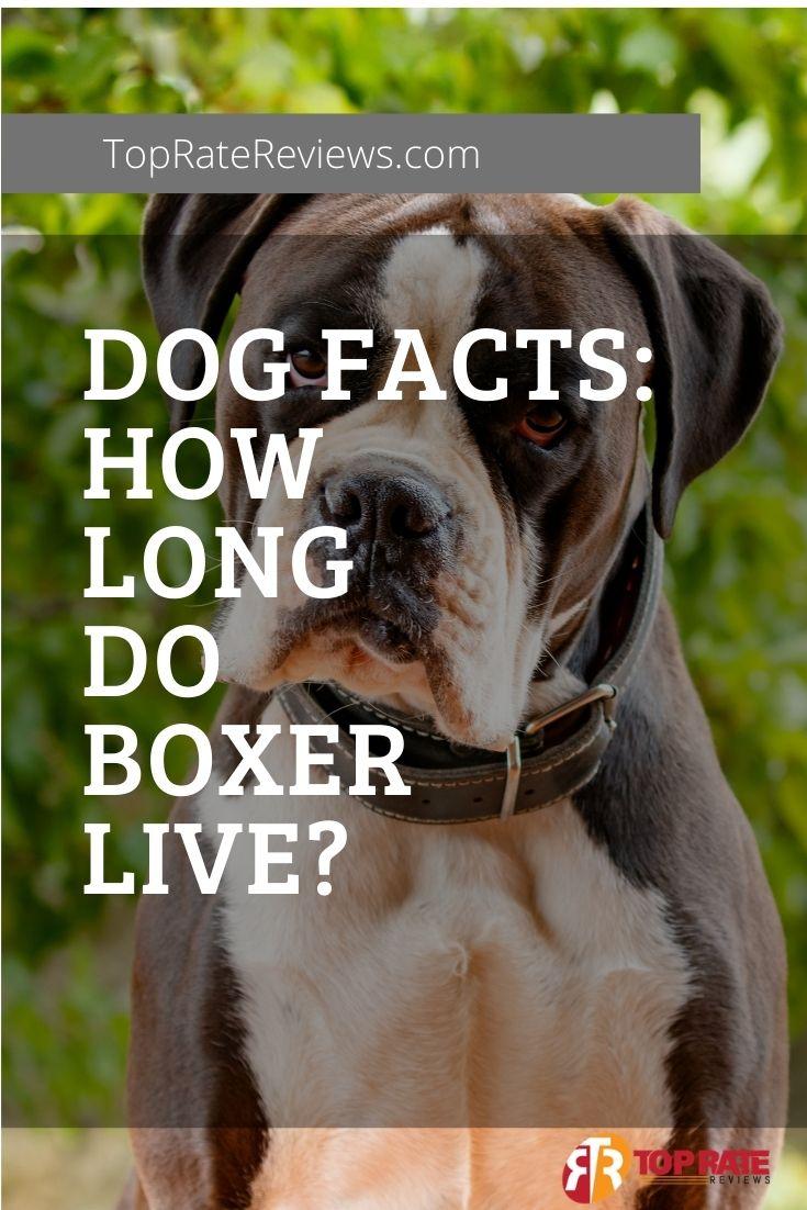 average lifespan of boxer dogs