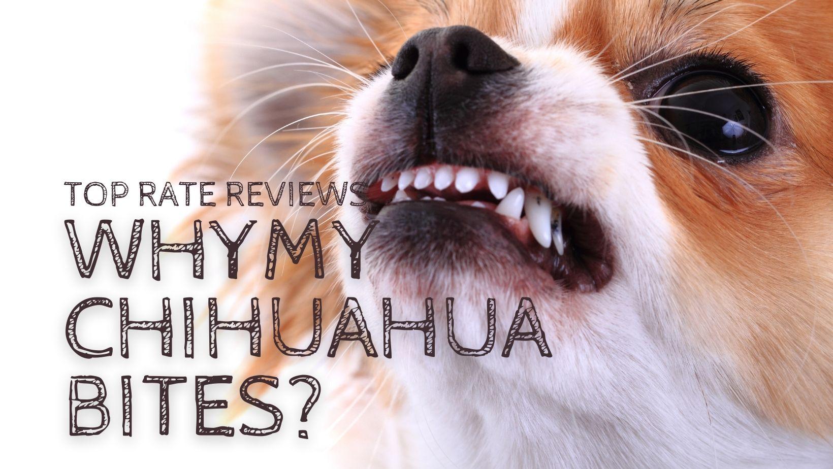 Why My Chihuahua Bites