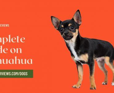 chihuahua breed guide